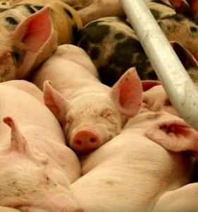 Aumento Explotaciones porcinas Aragón y España 2015